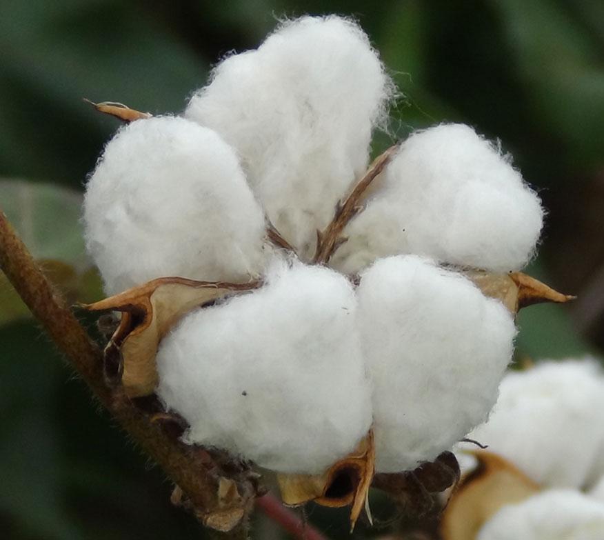 organic_cotton1.jpg